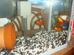 うちの新しい家族の金魚たち.jpg